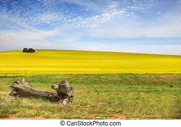 Healthy Canola Fields - Fields of canola plants growing in...