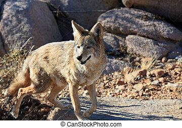 Healthy coyote