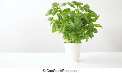 green basil herb in pot on table - healthy eating, gardening...