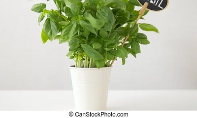 green basil herb with name plate in pot on table - healthy...
