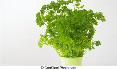 green parsley herb in pot on table - healthy eating,...