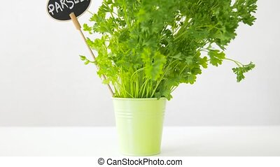 green parsley herb with name plate in pot on table - healthy...