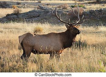 Healthy elk in the Rockies