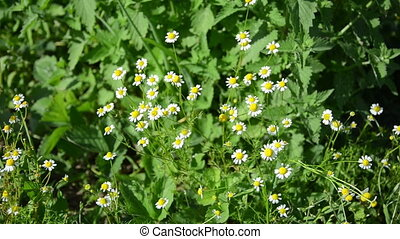 healthy flower camomile