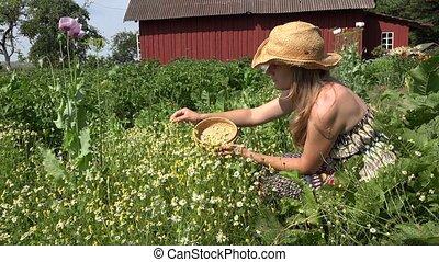 healthy girl pick camomile herb flowers in rural house yard....
