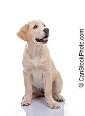 healthy golden labrador puppy