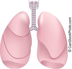 Healthy human lungs