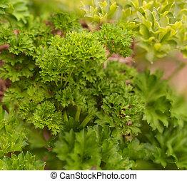 Healthy lifestyle organic herb gardening curly leaf parsley