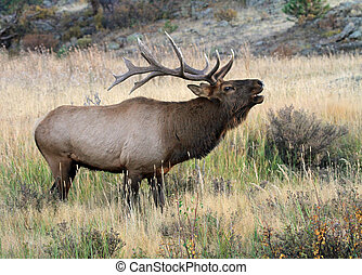 Healthy male elk during the rutting season in Rocky Mountain National Park, Colorado