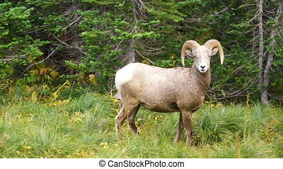 Healthy Male Ram Bighorn Sheep Wild Animal Montana Wildlife...
