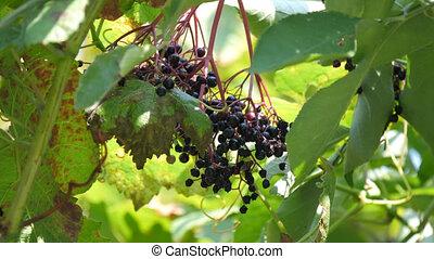 healthy ripe black elderberries cluster - fruit black...