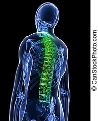healthy spine - 3d rendered x-ray illustration of a human...