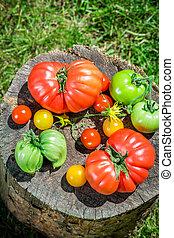 Healthy tomatoes in garden