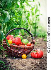 Healthy tomatoes in greenhouse