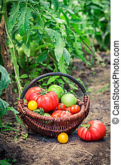 Healthy tomatoes in wicker basket
