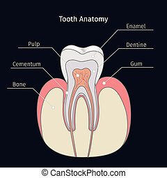 healthy tooth anatomy