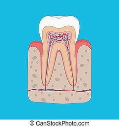 Healthy tooth diagram, Tooth cross section and anatomy of healthy gum. Medical dental poster illustration in flat design.
