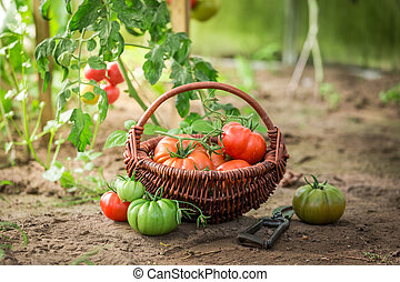 Healthy various tomatoes in small summer greenhouse