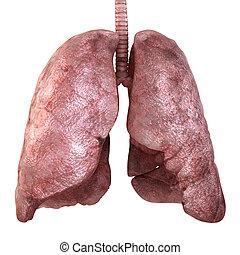 healty, pulmones, aislado, en, white., 3d, render