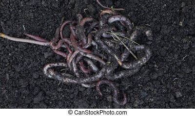 Heap of earthworms moving on the soil. Fertilize the soil,...