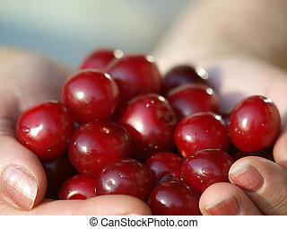 Heap of Fresh Cherry Fruits