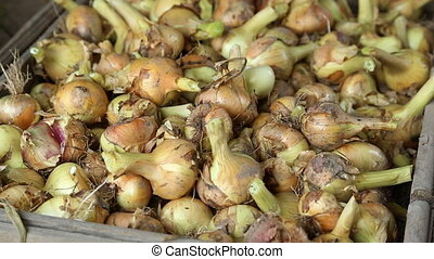 Heap of onions in closeup