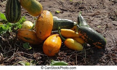 Heap of zucchini lying on the ground.