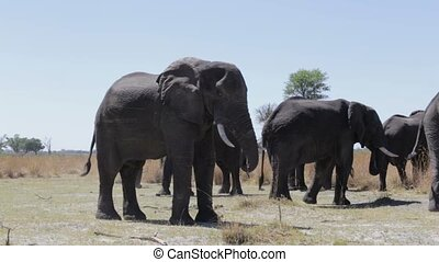 heard of african Elephant in Capriv - Heard of african...