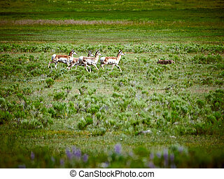 Heard of Pronghorn chasing a coyote at Yellowstone National Park.