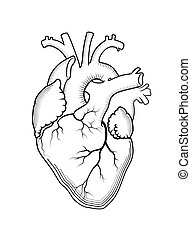 heart., a, interno, human, órgão, anatômico, structure.