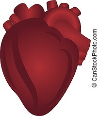 Heart anatomy colorful drawing on a white background