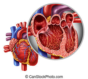 Heart Anatomy Concept - Human heart anatomy close up diagram...