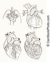 heart anatomy hand draw