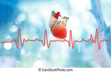 Heart anatomy with normal heartbeat rhythm