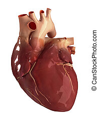 Heart anterior view isolated - Human heart anatomy
