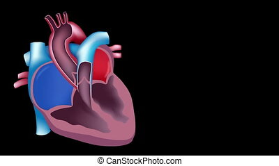 Heart blood flow loop - Scientifically accurate animation of...
