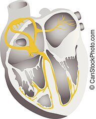 Heart conduction system. Human heart detailed illustration