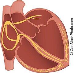 Heart conduction system vector illustration.