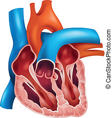 Heart cross-section - Illustration of a cross section of a...