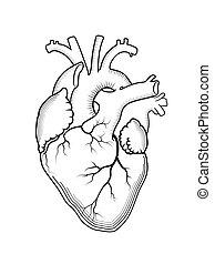 heart., el, interno, humano, órgano, anatómico, structure.