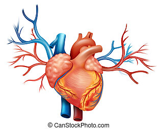 Heart - Illustration showing the heart