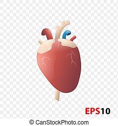 Heart. Human internal organ realistic isolated against ...