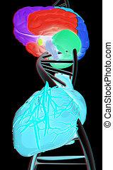 heart., illustration., dna, 3d, anaglyph., mózg, zobaczcie, 3d., prospekt, red/cyan, okulary
