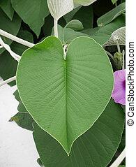 Heart leaf on tree 1