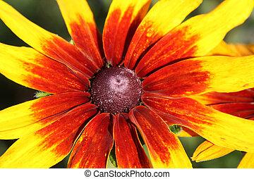 Heart of Black-eyed Susan flower (Rudbeckia)