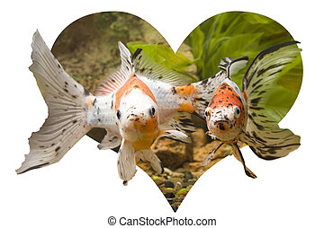 Heart of Goldfish - Heart shape and two Goldfishes in...