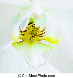 Heart of White Phalaenopsis or Moth Orchid flower - square