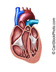 Heart section - Human heart cross section. Original digital ...