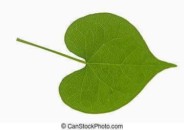 leaf of Ipomoea purpurea (tall morning-glory), Family: Convolvulaceae