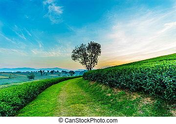 Heart shape tree with tea plantation landscape at Chiang rai, Thailand.